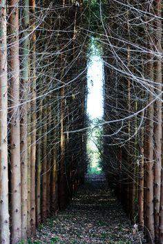 Eucalyptus - Eucalipto