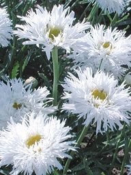 Low growing, good for front of borders. Leucanthemum 'Aglaia' Shasta Daisy: Full Sun, perennial, blooms all summer if deadheaded, divide every 2-3 years. So fluffy & pretty!