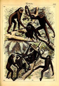 031-hylobates rafflesii, Oungko, hylobates leucogenys, White-cheeked Gibbon, hylobates albimanus, White-handed Gibbon, hylobates mulleri, Muller-Gibbon      ...