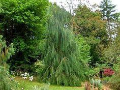 Сhamaecyparis lawsoniana Intertexta Pendula :: Квітковий сад Ірини Ковальчук