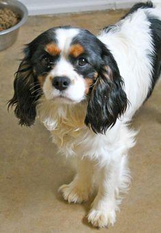 Adopted! Kai - Cavalier King Charles Spaniel - Memphis, TN.