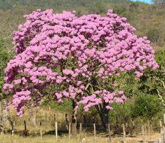 Ipê roxo - Handroanthus avellanedae  Nomes populares: Ipê roxo de bola, Casquinho.