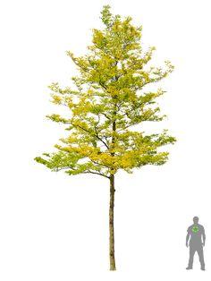 Gelbe Gleditschie 'Sunburst' Photoshop Design, Photoshop Elements, Tree Plan Png, Landscape Architecture, Landscape Design, Tree Psd, Plant Texture, Planer Layout, Honey Locust
