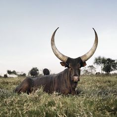 The Incredible Beauty Of Cattle Deemed Sacred Around The World Photographer Daniel Naudé journeys to Uganda, Madagascar and India to capture the divine power of certain livestock.