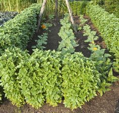 Herb Gardening Guide | Information How To Grow Basil - Basil Hedges
