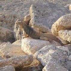 Iguana basking in the sun @ Guantanamo Bay, Cuba...I loved living there!!!