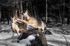 Taken on the Jack Pine Trail Ottawa, Kangaroo, Goats, Pine, Trail, Animals, Baby Bjorn, Pine Tree, Animales