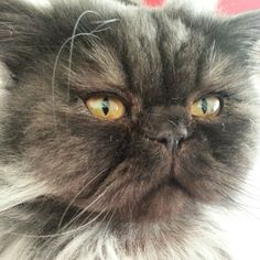 my little baby...persian cat