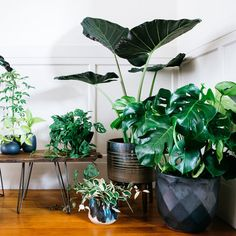 Clustered in an entryway, a grouping of big-leafed houseplants makes for a lush focal point.