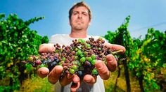 Stuart Proud holds pinot noir grapes from his Yarra Valley vineyard that were punished by last week's heatwave.