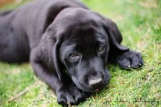 Black Lab Puppy ---------------- by jan stebbins photography