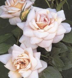 Champagne Moment: Cream colored and tipped with pink roses
