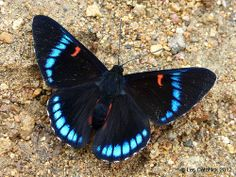 The Bellona Metalmark (Necyria bellona saundersi) is a butterfly of the Riodinidae family. It is found in most of South America.
