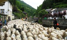 The transhumance - taking the sheep up to the high pastures in the Ariege