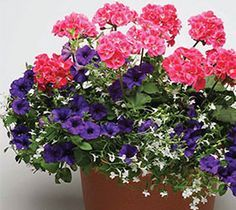 Pink geraniums and Easy Wave Blue petunias are softened with white lobelia. Stunning! www.wave-rave.com