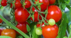 so pflanzen sie tomaten im gew chshaus garten pinterest tomaten gew chshaus pflanzen und. Black Bedroom Furniture Sets. Home Design Ideas