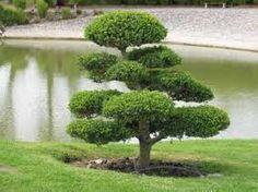 Manifestations et événements organisés par l'Association Topiary Garden, Bonsai Garden, Garden Trees, Trees To Plant, Cloud Pruning, Architectural Plants, Plantas Bonsai, Growing Gardens, Unique Trees