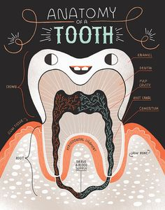 Anatomy of a Tooth: Art print and poster by Rachelignotofsky Low Income Dental Insurance Dental Assistant Study, Dental Hygiene School, Dental Life, Dental Art, Dental Humor, Dental Hygienist, Dentist Jokes, Teeth Dentist, Dental Group