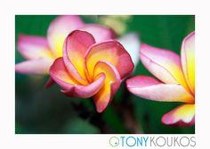 flower, vibrant, colour, colourful, petals, texture, nature, bud, Thailand, islands, pink, fuchsia, yellow, travel, art, photography, Tony Koukos, Koukos, EXO008C-A