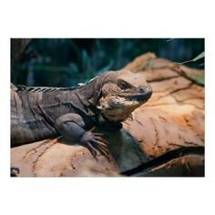 Ctenosaura melanosterna / black-chested spiny-tailed iguana / Schwarzbrust-Schwarzleguan