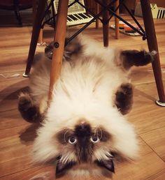 ポコさんひっくりカエル🐸🐸🐸 #cat  #catstagram  #catoftheday  #ilovecat #lovecats  #himalayan #himalayancat  #cutecat  #bestmeow  #cats_of_instagram  #gato#chat #ヒマラヤン #ねこ #ネコ #猫 #にゃんこ #ねこ部 #にゃんこ部 #ねこのいる生活 #猫バカ #ぬこ #ねこすたぐらむ #にゃんすたぐらむ #ふわもこ部 #ねこら部  #ペコねこ部 #フェリシモ猫部 #ヒマラニャンズ #ポコポノ