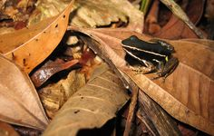 The Missions platform will include tracking of frogs and insects living close to the water. Image source: guentermanaus via Shutterstock.