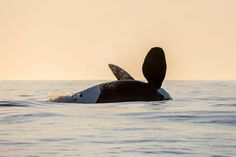 www.pegasebuzz.com   Orca, orque, killer whale, black fish.
