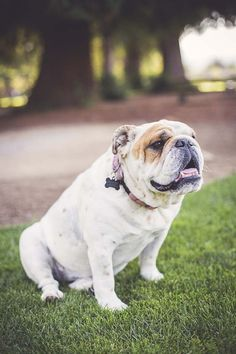 One of our DogTime fans has questions for Dear Labby about a dog who loves to stop and sniff on walks! Dear Labby has the answer! French Bulldog, English Bulldogs, Bulldog Pics, Leather Dog Collars, Happy Dogs, Dog Pictures, Animal Photography, Puppy Love, Dog Tags