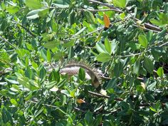 Iguana from the Cayman Islands