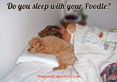 DO YOU SLEEP WITH YOUR POODLE??? Of course! I sleep with 2-4 every night. My baby cuddles up close and keeps me cozy.