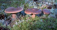 Männiriisikas (Lactarius rufus)  riisikate (Lactarius) perekond pilvikuliste (Russulaceae) sugukond.