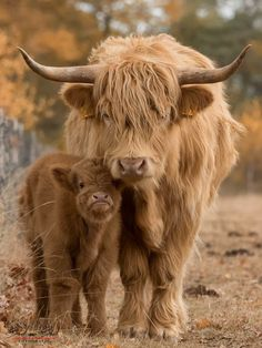 49 Adorable Highland Cattle Calves Bring a Smile to Your Day Scottish Highland Cow, Highland Cattle, Scottish Highlands, Farm Animals, Animals And Pets, Funny Animals, Beautiful Creatures, Animals Beautiful, Fluffy Cows