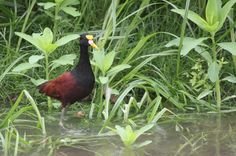 Jacana Wading in the River at Cano Negro