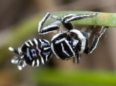 """Picture of a peacock spider called Skeletorus - The peacock spider Maratus sceletus earned the nickname """"Skeletorus"""" for its black-and-white markings. Wildlife Photography, Animal Photography, Macro Photography, Levitation Photography, Winter Photography, Abstract Photography, Peacock Facts, Spider Species, Peacock Pictures"""