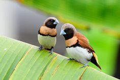 The Chestnut-breasted Mannikin (Lonchura castaneothorax) also known as the Chestnut-breasted Munia or Bully Bird (in Australia), is a small brown-backed munia with a black face and greyish crown and nape. It has a broad ferruginous breast bar above a white belly. The species is found in Australia, New Caledonia, Indonesia, and Papua New Guinea