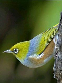 Zostérops à dos gris / Silvereye / Zosterops lateralis. Aire: Australie, Tasmanie, la Nouvelle-Calédonie, le Vanuatu et la Nouvelle-Zélande.