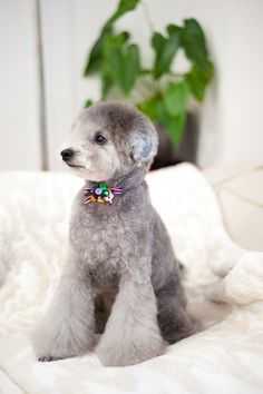 #haircut #toypoodle #silverpoodle ♡ nice bootcut legs