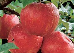 Honeycrisp Apple Malus 'Honeycrisp' Zone 4