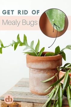 Are you noticing a fuzzy, white, cotton like residue on your houseplants? You probably have mealy bugs. We�ll show you how to get rid of mealy bugs for good! It's just 2 easy steps. Clever Bloom #houseplants #indoorplants #plantcare #mealybugs Plant Bugs, Plant Pests, Air Plants, Indoor Plants, Scale Insects, Mealy Bugs, White Plants, Small Space Gardening, Garden Care