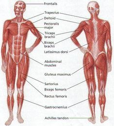 Muscles Of The Body Diagram | A Fully Labelled Human Body Muscle Diagram Fit And Healthy