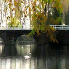 Ian Ledward - Brugge with Swans