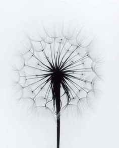 someone once told me you can make wishes off of dandelions, like blowing out a candle.