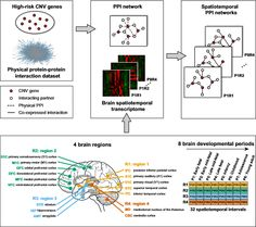Researchers map epigenetic autism pathway during neurodevelopment.