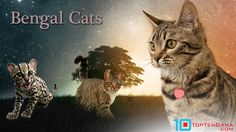 Bengal cats are known for their leopard like markings and their exotic wild appearance but are pure domestic cats. Read more for everything you should know.