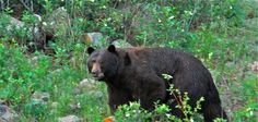 This majestic bear was spotted at the Lawn Lake Trailhead near Estes Park