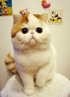 Okay, so Exotic Shorthairs are litereally the cutest thing my eyes have seen, but tend to have health problems having to do with breathing and wrinkles that develop from their cuteness, as they seem to be the equvilent to the pug or bulldogs, so I'll stick to posting pic of their cuteness instead of adopting