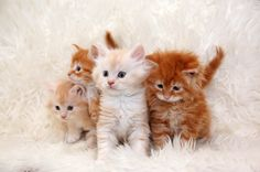four little red cats maine coon | Hoe krijg je 4 eigenwijze … | Flickr