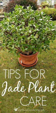succulent garden care Jade plant houseplants are easy to care for succulents, and they make great low maintenance plants. these tips for successful jade plant care. Crassula Succulent, Jade Succulent, Succulent Care, Succulent Gardening, Cacti And Succulents, Planting Succulents, Planting Flowers, Organic Gardening, Indoor Gardening