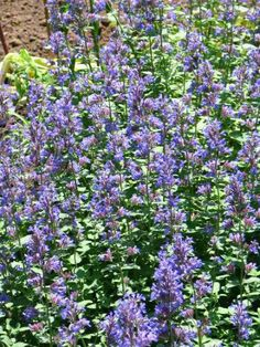 Growing Catnip Is So Easy  Did you know that catnip belongs to the mint family and that the leaves have a lemon mint scent. Common catnip has beautiful blue flowers and the plant will self seed and come up again next year. Plant your catnip where...