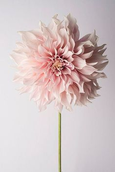 Blumenfotografie – Blumen Stillleben Fotografie, rosa Dahlien, Cafe au Lait, Wand-Dekor, Wandkunst Photography Photography Still Life with Flowers Pink Dahlia … Art Floral, Deco Floral, Pastel Floral, Floral Motif, My Flower, Beautiful Flowers, Flower Farm, Cactus Flower, Exotic Flowers